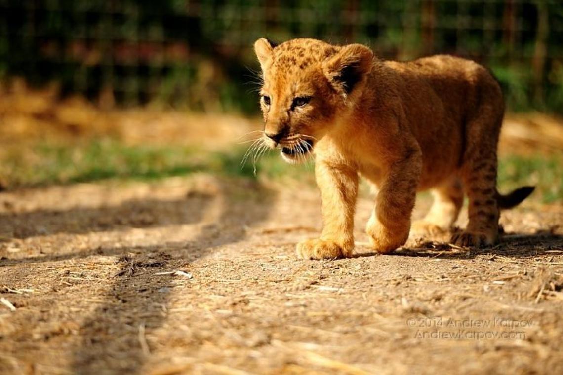 Парк львов Тайган из Николаевки